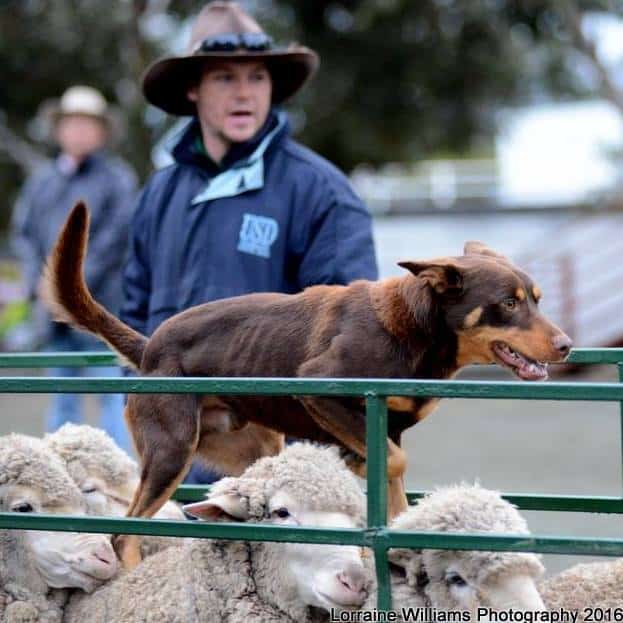 Adam & Buster - Farm World Sheep Dog Trials