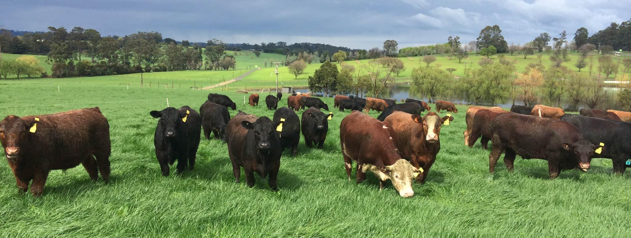 Steers at Lardner Park